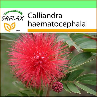 Saflax - Garden to Go - 10 seeds - Pink Powder Puff - Arbre aux houppettes - Calliandra - Arbusto de la llama. - Puderquastenstrauch