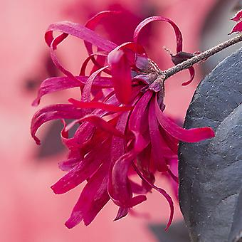 Pair Loropetalum 'EverRed' Chinese Witch Hazel Plants in 2L Pots Established