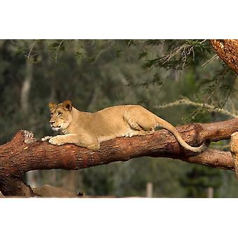 Afrikanische Löwin ruht auf Log in Afrika Poster Print von San Diego Zoo