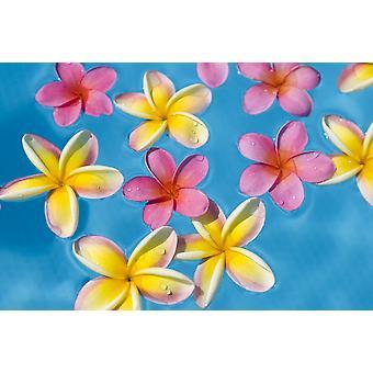 Plumerias brillantes de amarillo y rosa flotando en el agua turquesa PosterPrint