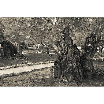 Гефсиманский сад масличной Иерусалим Израиль плакат печати панорамных изображений (36 x 24)