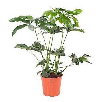 Indoor plant – Philodendron 'Green Wonder' | Height: 80 cm | Philodendron Green Wonder