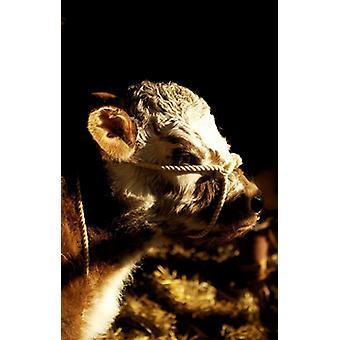 Rare Breed Longhorn Cattle veau - Reproduction d'art