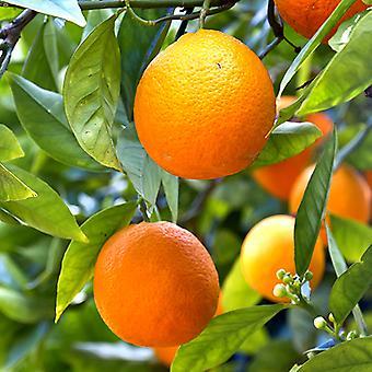 Established Mandarin Citrus Fruit Tree in a 6L Pot