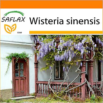 Saflax - Garden in the Bag - 4 seeds - Blue Chinese Wisteria - Glycine de Chine - Glicine  - Flor de la pluma - Blauregen
