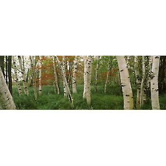 Downy birch trees in a forest Wild Gardens of Acadia Acadia National Park Maine USA Poster Print