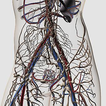 Medical illustration of arteries veins and lymphatic system in female midsection front view Poster Print