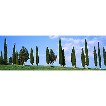 Cypress trees on a hill Tuscany Italy Poster Print