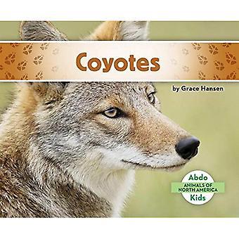Coyotes (animaux d'Amérique du Nord)