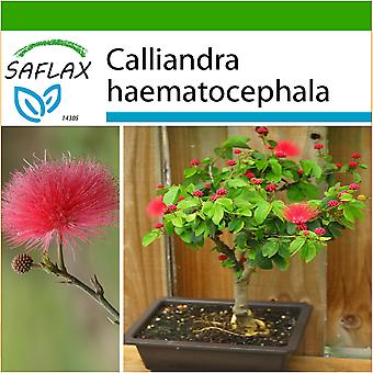Saflax - 10 frø - med jord - Bonsai - Pink pudderkvast - Arbre aux houppettes - Calliandra - Plumerillo rojo - B - Puderquastenstrauch