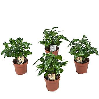 Botanicly - Indoor Plants | 4 × Coffee plant | Height: 25 cm | Coffea Arabica