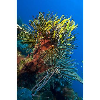 A colony of multi-colored Crinoid feather stars attached to a sponge Vannessas reef Kimbe Bay Papua New Guinea Poster Print