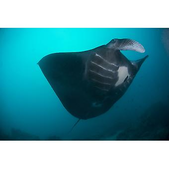 Black-bellied manta ray taking off Palau Micronesia Poster Print