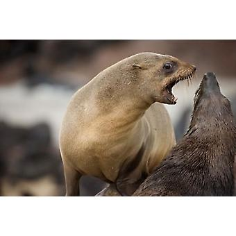 Namibia Cape Cross Seal Reserve Southern Fur Seals Poster Print by Paul Souders