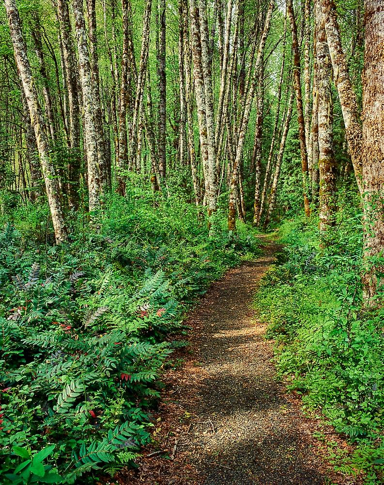 Dirt road passing through Alder Forest Willamette National Forest Lane County Oregon USA Poster Print by Panoramic Images (28 x 22)