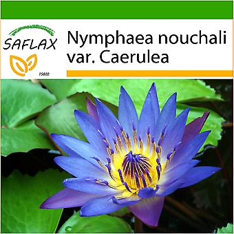 Saflax - 15 seeds - With soil - Blue Lotus - Lotus bleu - Loto blu dell'India - Loto azul - Blaue Seerose