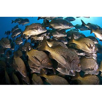 Skolen burito grunt fisk San Benedicto øen Stillehavet Mexico plakat Print af VWPicsStocktrek billeder