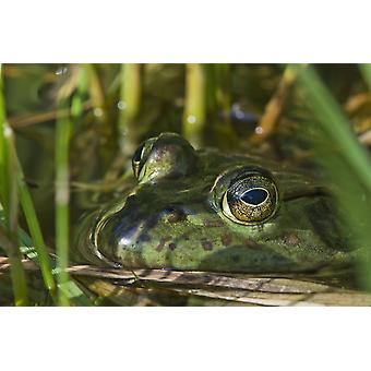 A bullfrog (Lithobates catesbeianus) rests in a pond Astoria Oregon United States of America PosterPrint