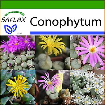 Saflax - 40 seeds - With soil - Flowering Stones / Conophytum Mix - Des pierres fleurissantes / Mélange de Conophytum - Conophytum (mix) - Conophytum Mix - Blühende Steine / Conophytum Mix