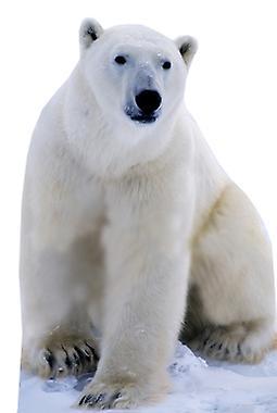 Orso polare - cartone Lifesize ritaglio / Standee