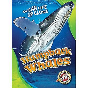 Knölvalar (Ocean liv på nära håll)