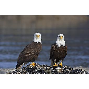 Bald Eagles Perched On Barnacle Covered Rock Inside Passage Southeast Alaska Summer PosterPrint