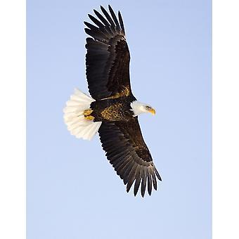 Pygargue en vol dans les airs au-dessus de Homer cracher la péninsule de Kenai Alaska hiver PosterPrint