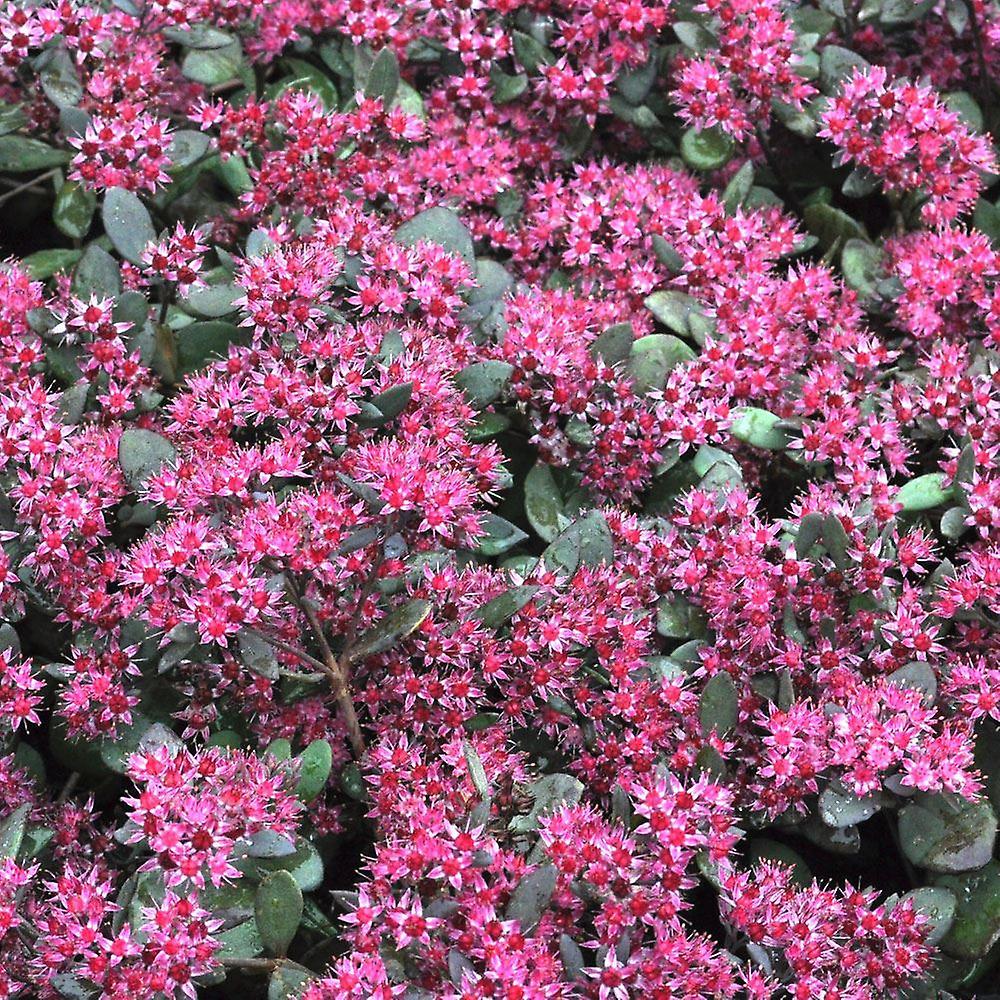Sedum Betram Anderson - Black Leaf Stonecrop - Plant in 9cm Pot