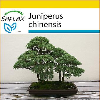 Saflax - Potting Set - 30 seeds - Bonsai - Chinese Juniper - Genévrier de Chine - Ginepro cinese - Enebro de la China - B - Chinesischer Wacholder