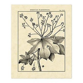 Vintage Botanical Study I Poster Print by Sellier (16 x 20)