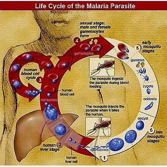Drukowanie plakatu cyklu życiowego pasożyta malarii przez źródło nauki