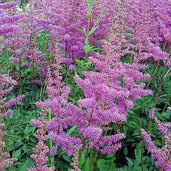 Astilbe arendsii Amethyst - Astilbe - Plant in 9cm Pot