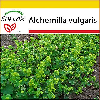 Saflax - Potting Set - 100 seeds - Lady's Mantle - Alchémille commune - Erba stella - Pie de león - Frauenmantel