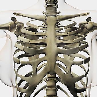 Tre dimensionell bild av kvinnliga bröstben och revben bur affisch Skriv