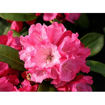 Rhododendron yakushimanum Morning Red - Dwarf Rhododendron - Plant in 9cm Pot