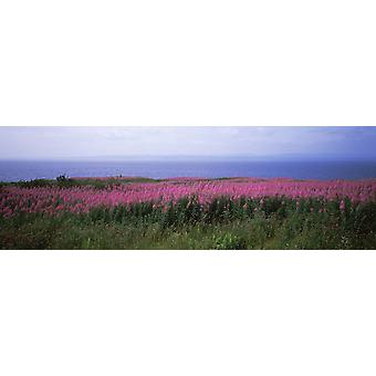 Purple loosestrife flowers in a field Gaspe Peninsula Forillon National Park Quebec Canada Poster Print