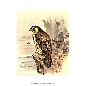 Peregrine Falcon Poster Print by FW Frohawk (10 x 13)